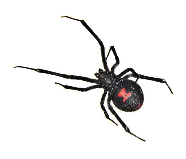 black widow spider.jpg