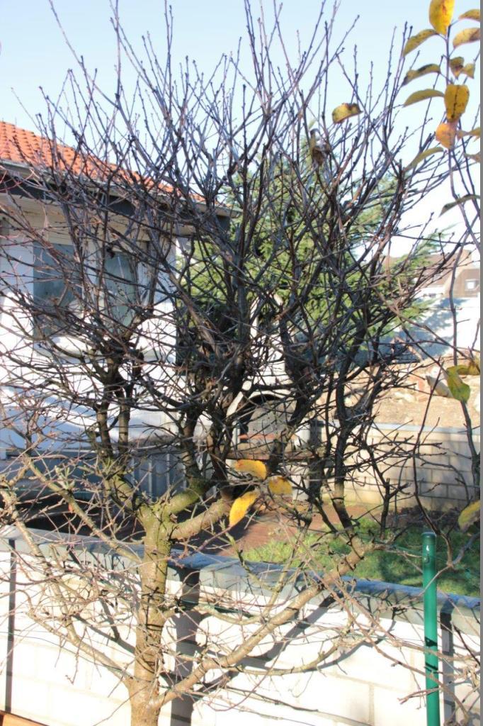 Spalierobst vor dem Obstbaumschnitt