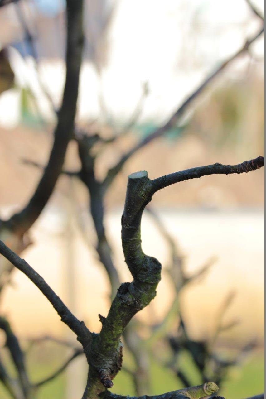 nach dem Obstbaumschnitt