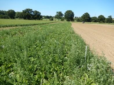 à gauche, les plants de betteraves (avec des chénopodes), à droite, la terre d'accueil.