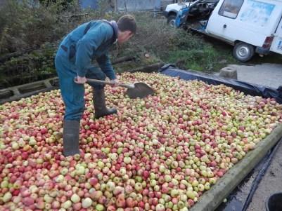 Après la récolte, les pommes finissent de mûrir en tas quelques jours, afin qu'elles finissent tranquillement la transformation de leur amidon en sucre.