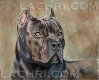 American Staffordshire Terrier in colored pencil