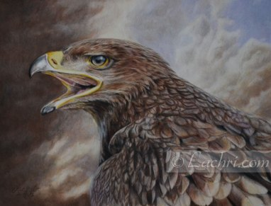 eagle in colored pencil (polychromos)