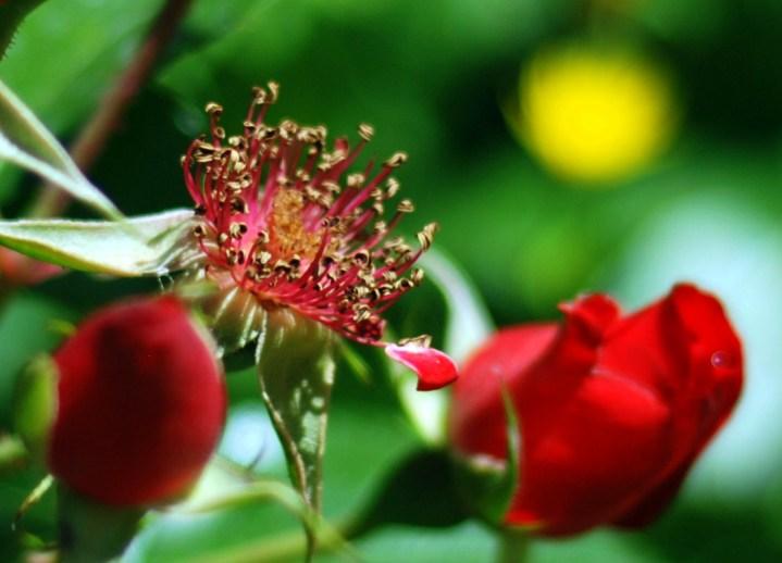 Lo que queda de las rosas