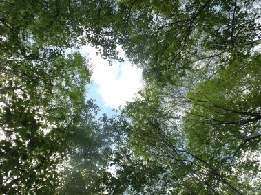 looking up at the birch trees