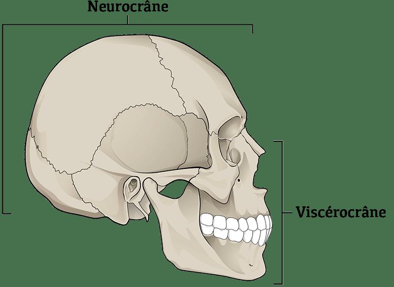 Les régions anatomiques de la tête