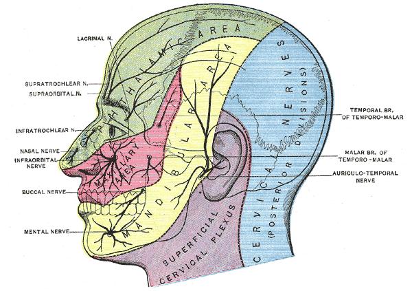 Innervation de la tête