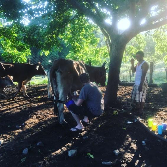 Morning cow milking