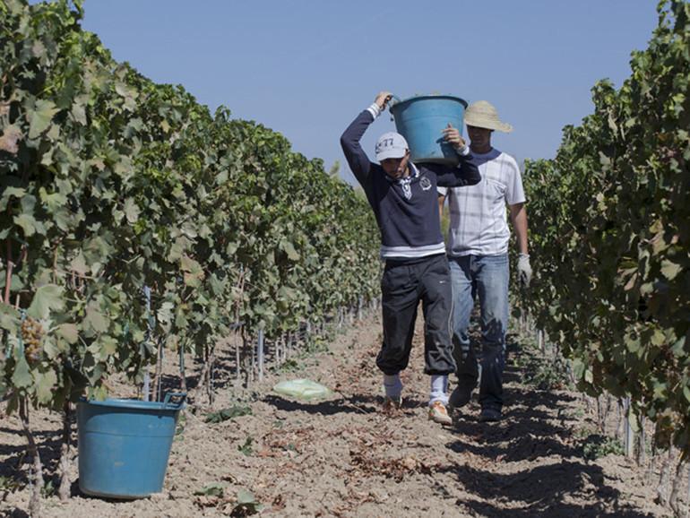 Lavoro Coldiretti: l'agricoltura continua ad assicurare lavoro rimbalzo di + 17% di ore lavorate