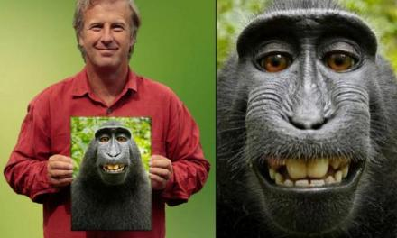 Un fotograf și o maimuță în instanța de judecată pentru niște selfie-uri
