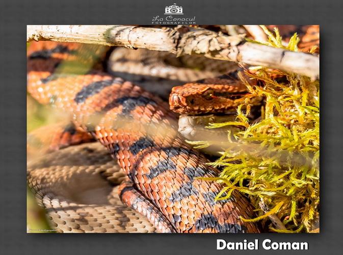 Daniel Coman resize 1