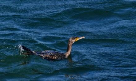 Aviz pozitiv, pentru impuscarea cormoranilor, deputatii din comisiile de mediu si agricultua au votat!