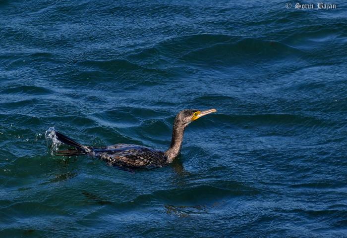 cormoran mare resize