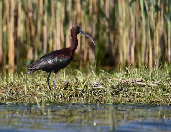 tiganus ibis resize