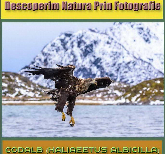 Descoperim natura prin fotografie, astaziintalnim Codalbul (Haliaeetus Albicilla)