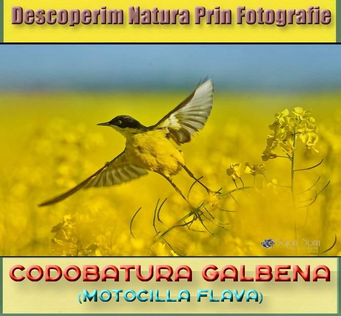 Descoperim Natura Prin Fotografie, astazi intalnim Codobatura Galbena!