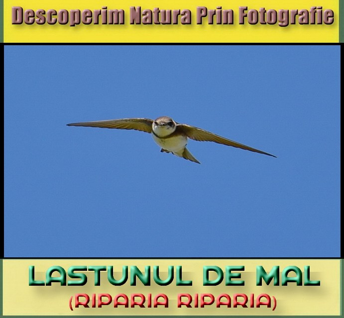 Descoperim Natura Prin Fotografie, astazi intalnim Lastunul de Mal!