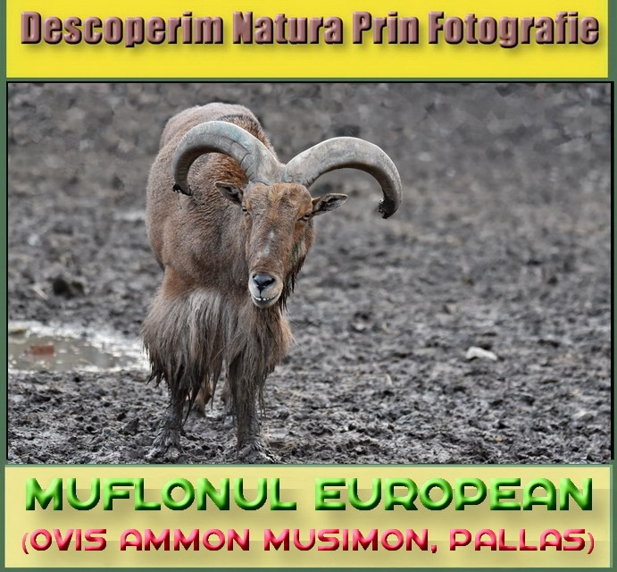 Descoperim Natura Prin Fotografie, astazi intalnim Muflonul!