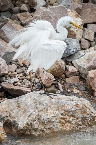 Egreta mare 2019 Oradea Szabo Claudiu resize