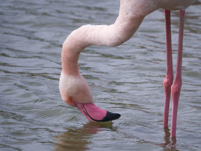 Flamingo roz Franta Stefan Ciprian Momita 2 resize