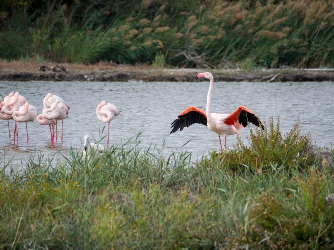 Flamingo roz Franta Stefan Ciprian Momita resize