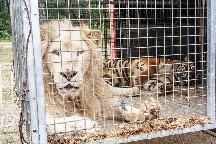 cirque fauves en captivité