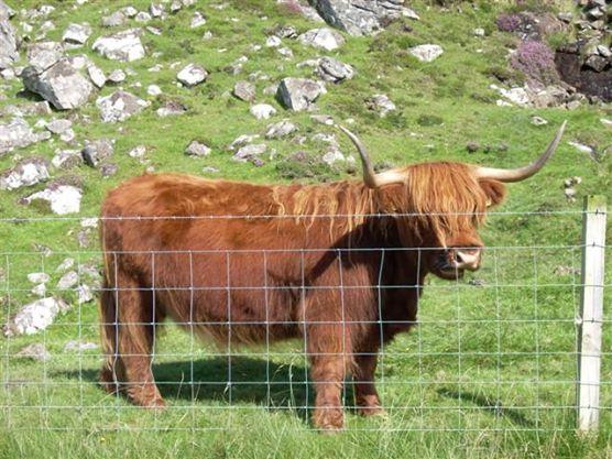 Vaca peluda de las Highlands