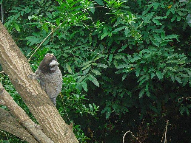 Mono sawi, Pan de Azúcar