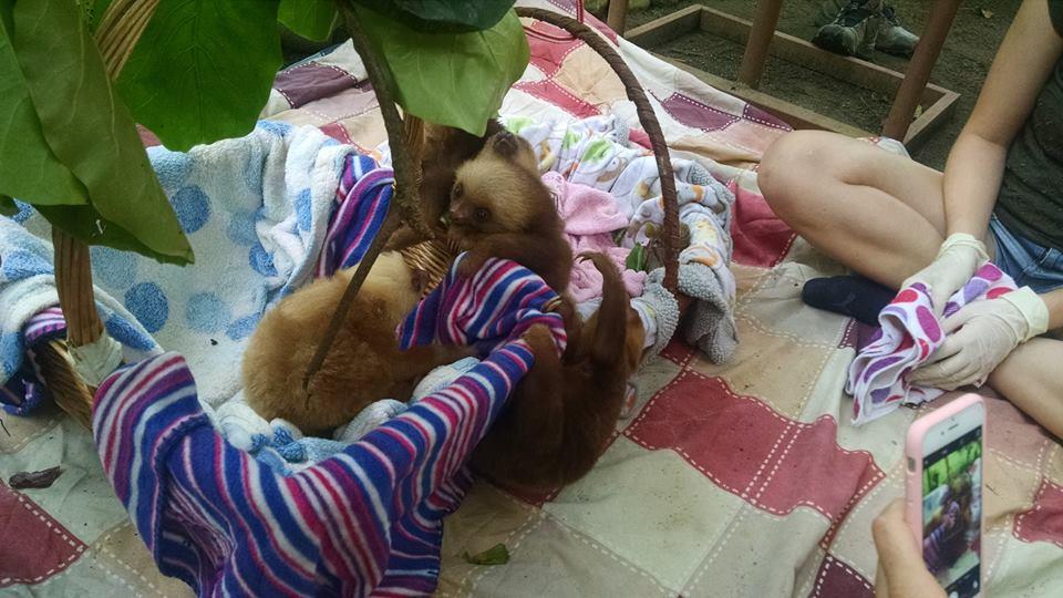 Los bebés de perezoso hacen las delicias de los visitantes