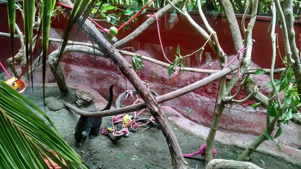 coati-herido-centro-de-rescate-jaguar