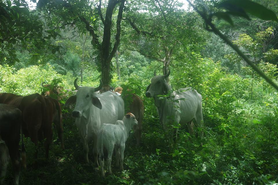 vacas-en-el-sendero-de-caldera