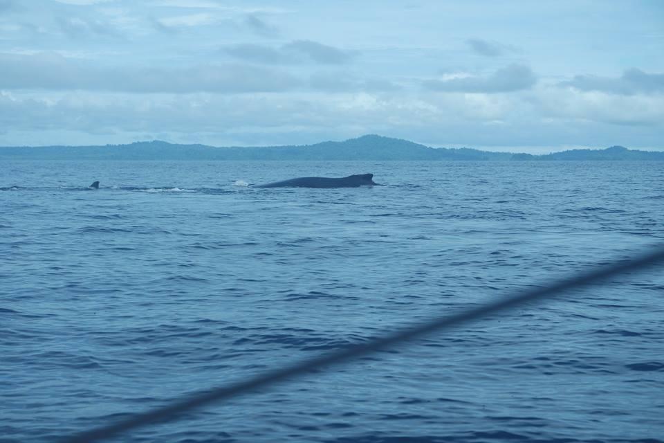 Ballenas en el Pacífico