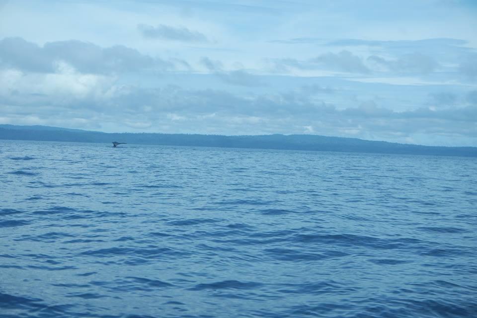 Ballenas jorobadas en Santa Catalina y el Pacífico