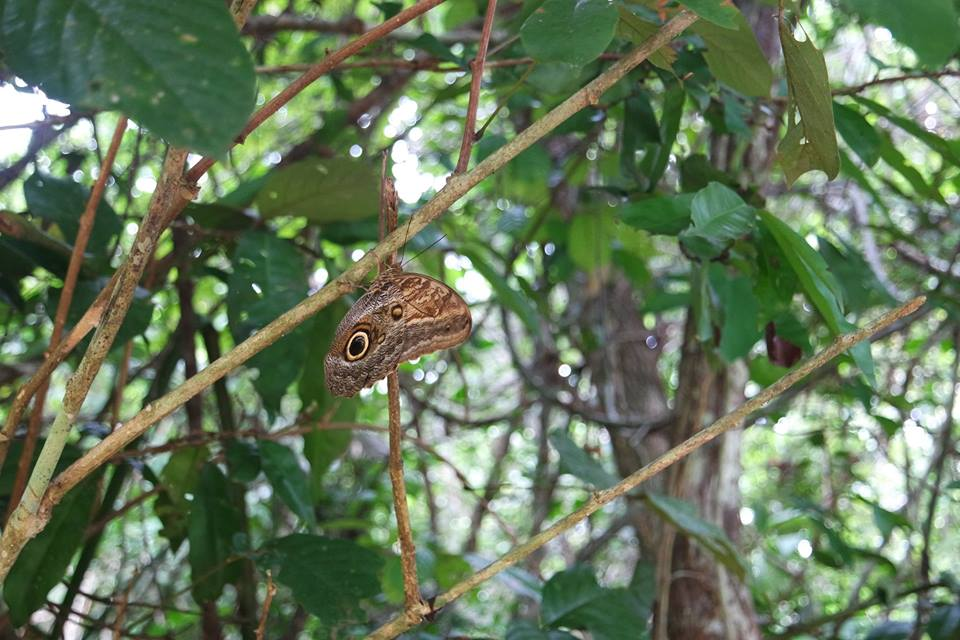 Mariposa en Darién