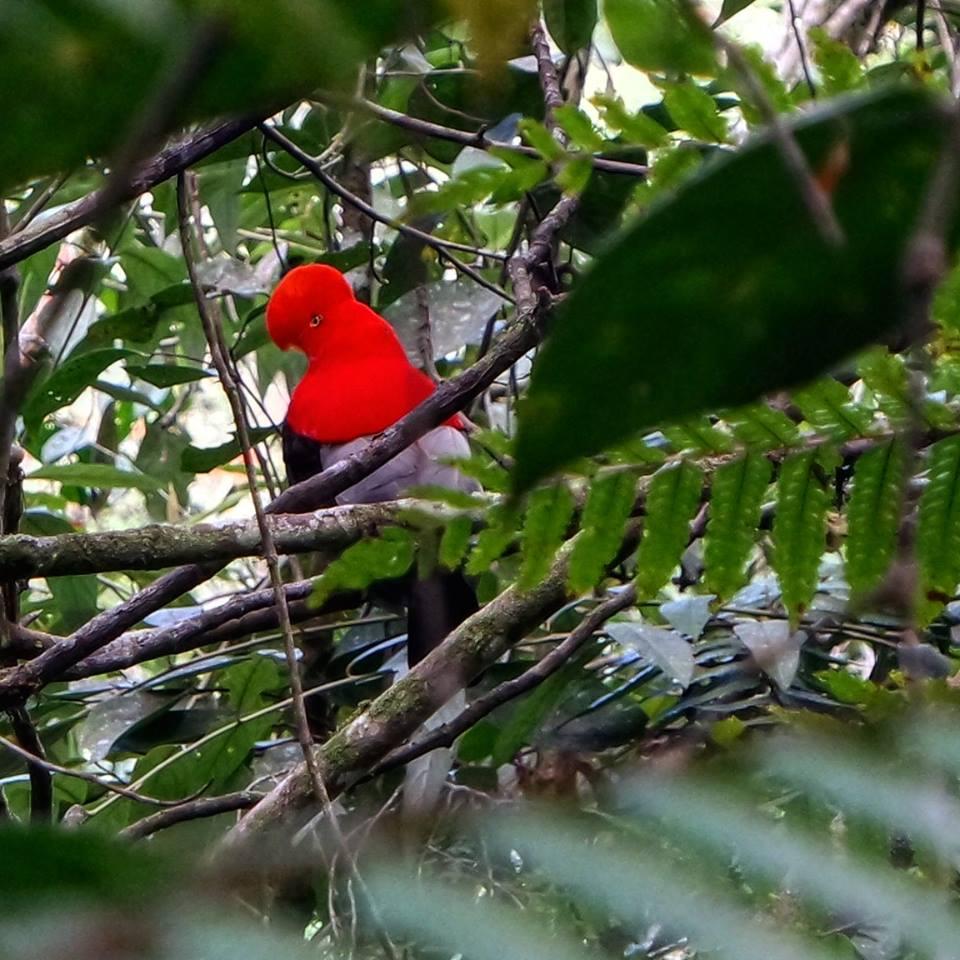Gallito de Roca, avistamiento de aves en Cali
