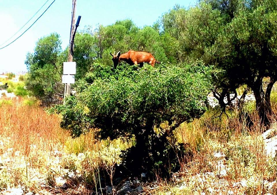 Cabra en un árbol, sierra de Tramuntana, Mallorca