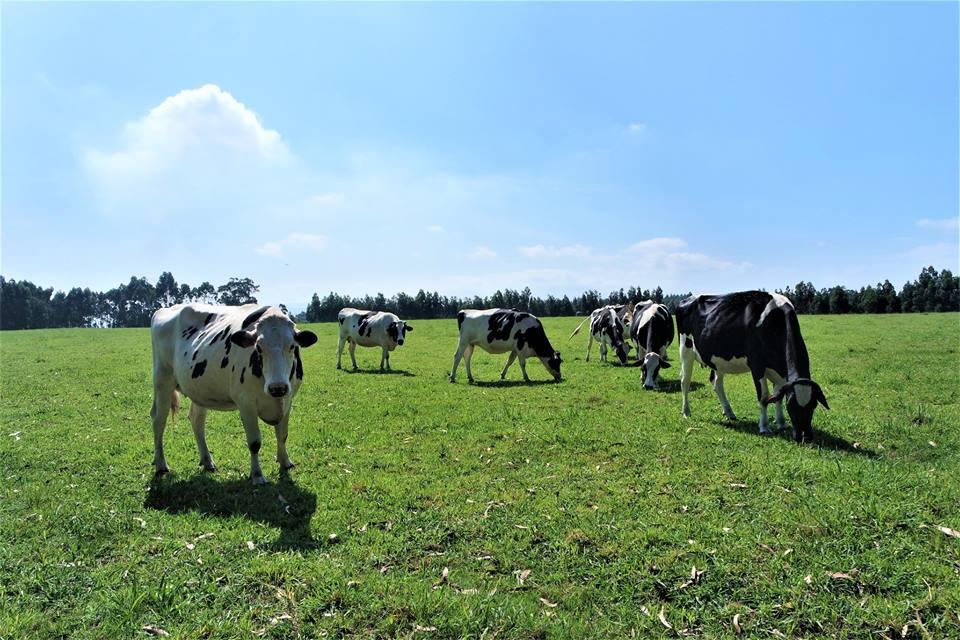 Vacas, Camino del Norte