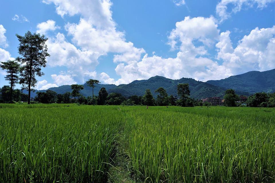 Campos de arroz de Pokhara