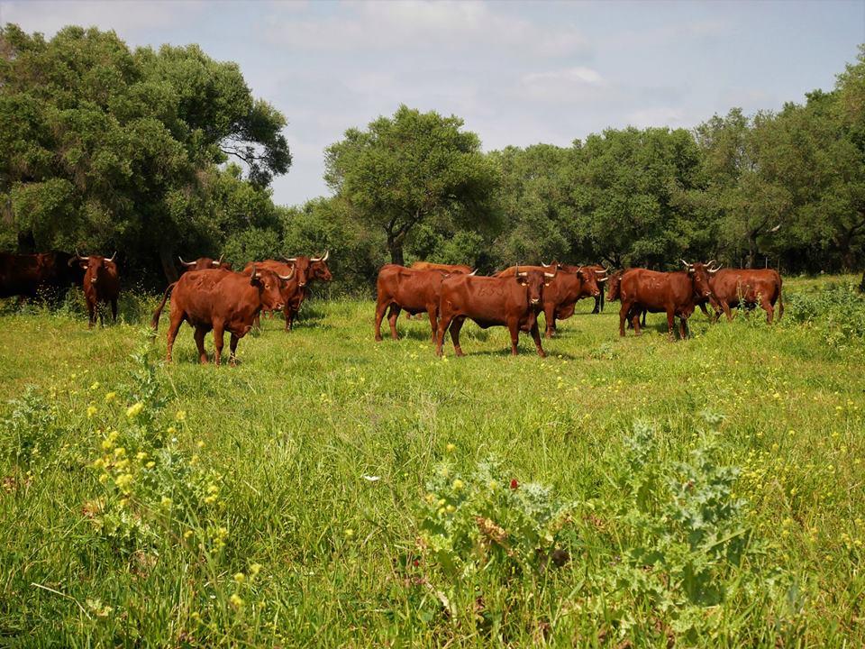 Vacas de retinto, Medina Sidonia