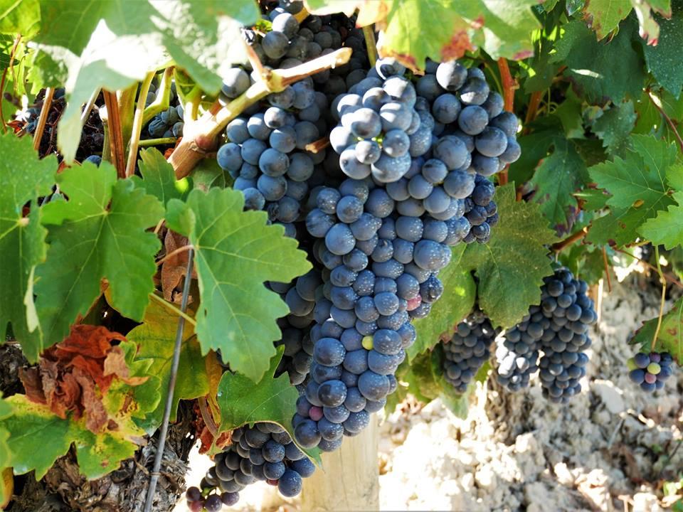 Uvas de la finca El Gallo en La Rioja