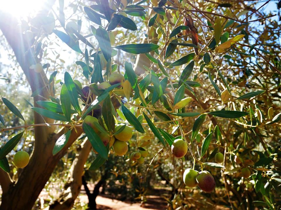 Olivos de la Hacienda Guzmán
