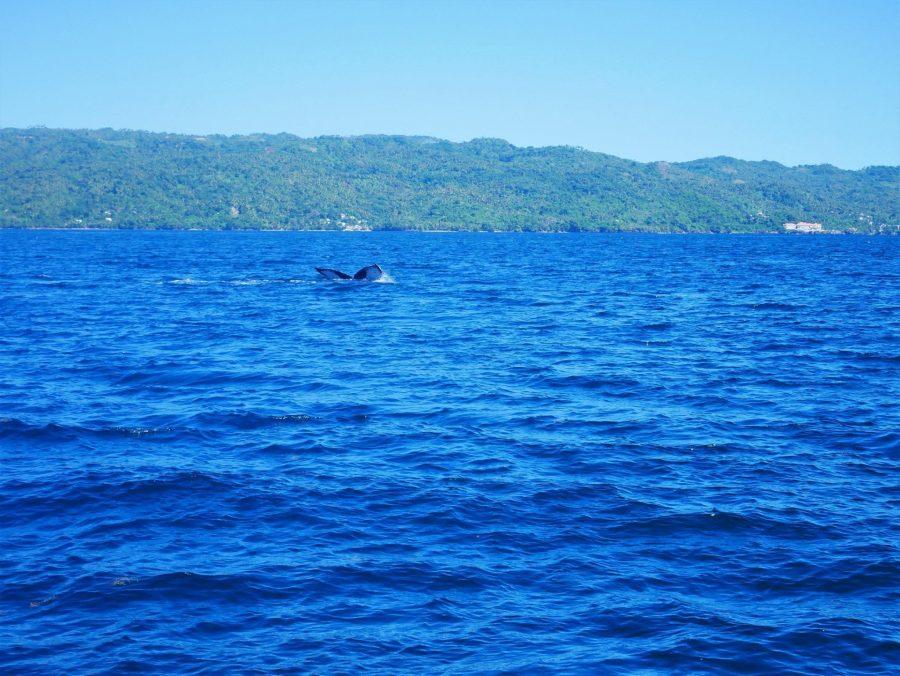 Ballenas jorobadas en la bahía de Samaná, razones para viajar a República Dominicana