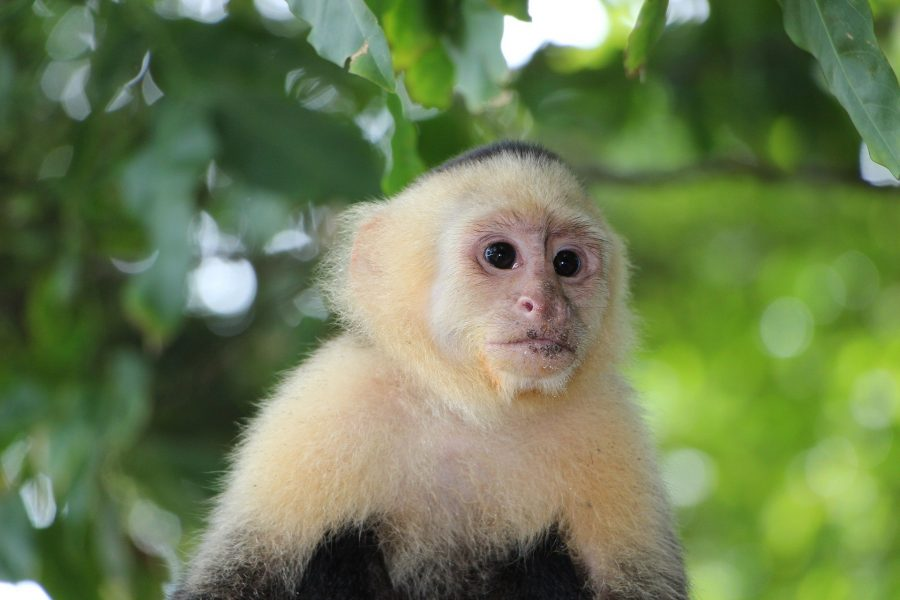 Mono capuchino de Manuel Antonio, qué ver en Costa Rica