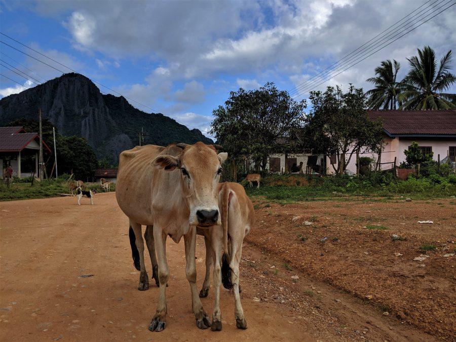 Vacas en el camino, Vang Vieng