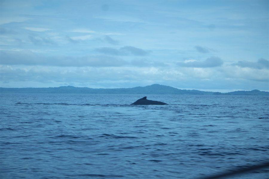 Avistamiento de ballenas en Panamá, Santa Catalina