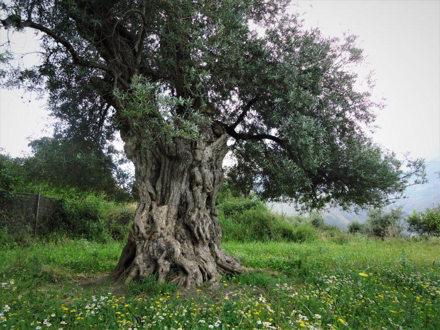 Olivos centenarios de Órgiva