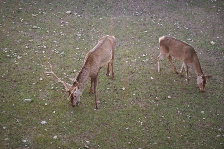 Ciervos en La Ciudadela