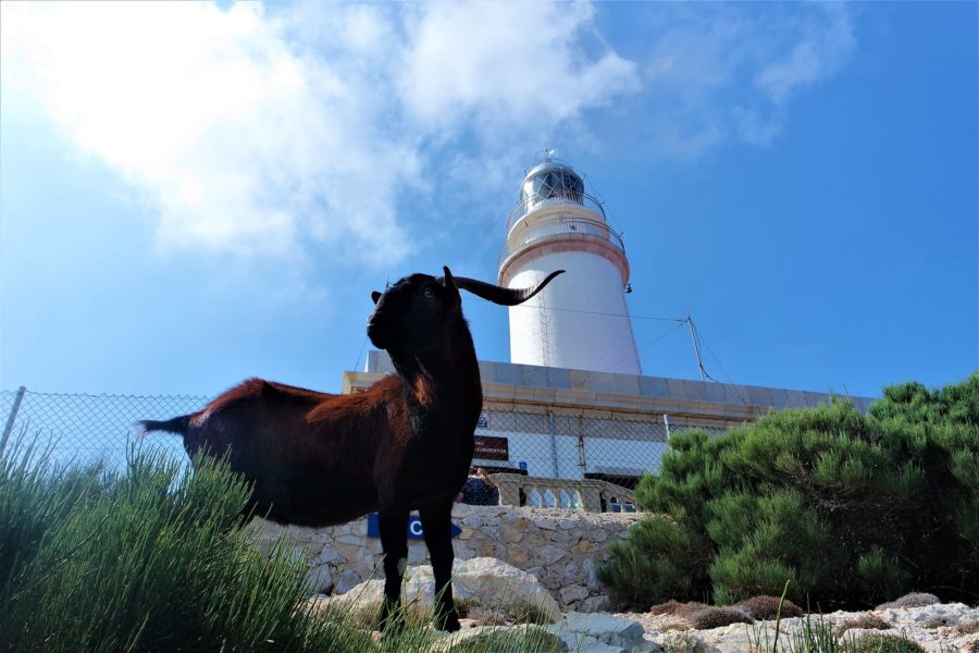 Cabra en el faro de Formentor, Mallorca