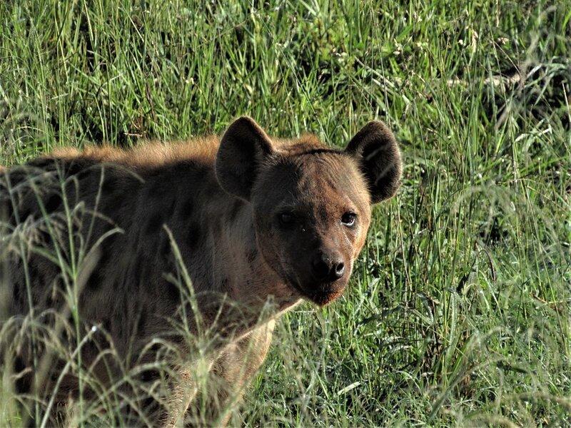 soñar con hiena