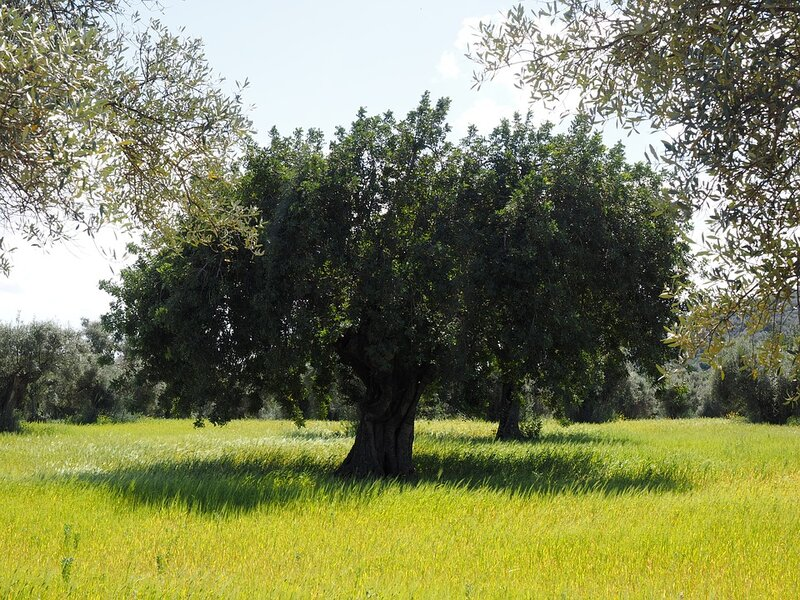 soñar con olivo